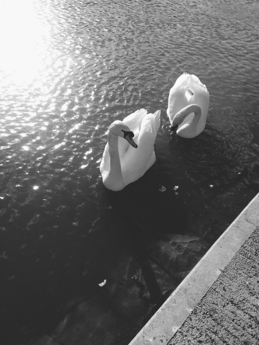 Swans at the canal | nathalie.ie