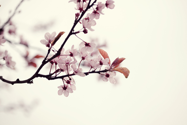 cherry blossoms | nathalie.ie