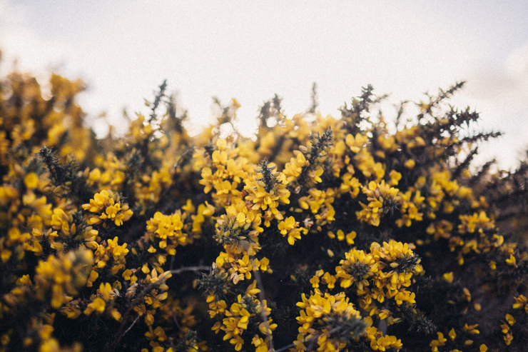 Donegal gorse | nathalie.ie