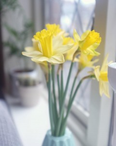 Happy Friday from me and these lovely Irish daffodils